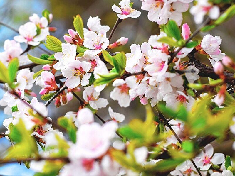 葉桜まで楽しめるサクラの切花