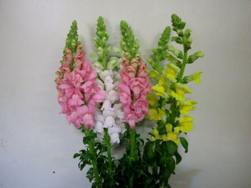 キンギョソウ(スナップ)の切り花:日持ち・水揚げ方法・花言葉・長持ちさせる飾り方