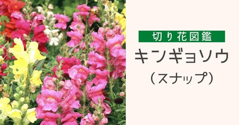 キンギョソウ(スナップ)の切り花