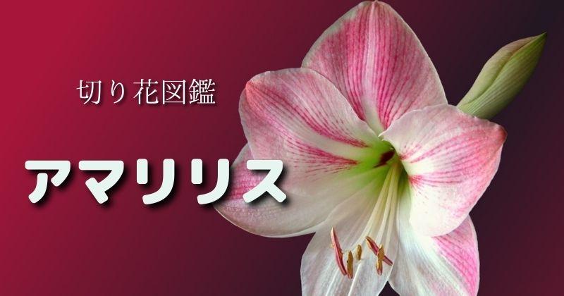アマリリスの切り花:飾り方・花言葉など:アレンジの際は中空の茎が折れない細工を…