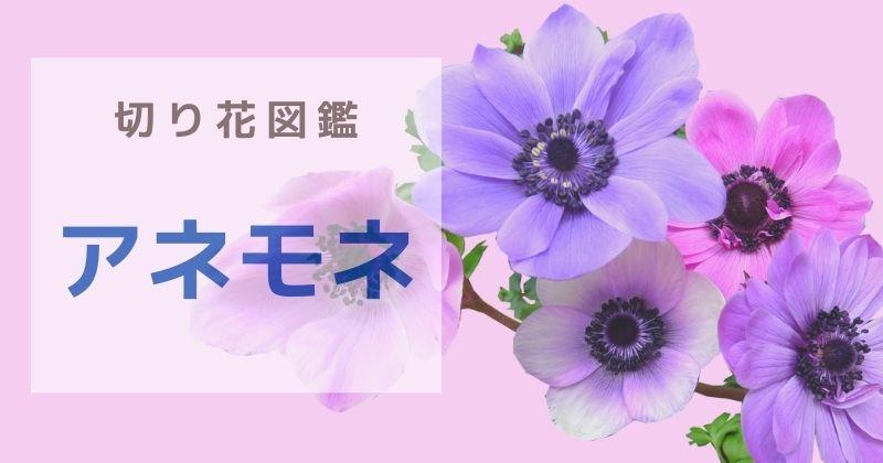 アネモネの切り花:可愛い花なのに花言葉が怖い。出回り時期や日持ち・飾り方のポイント