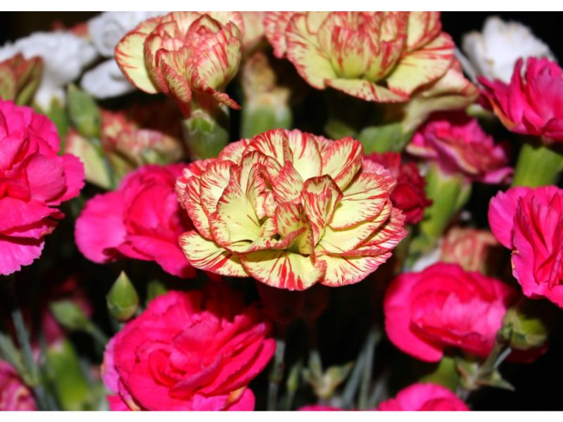 カーネーションの切り花の特徴、飾り方