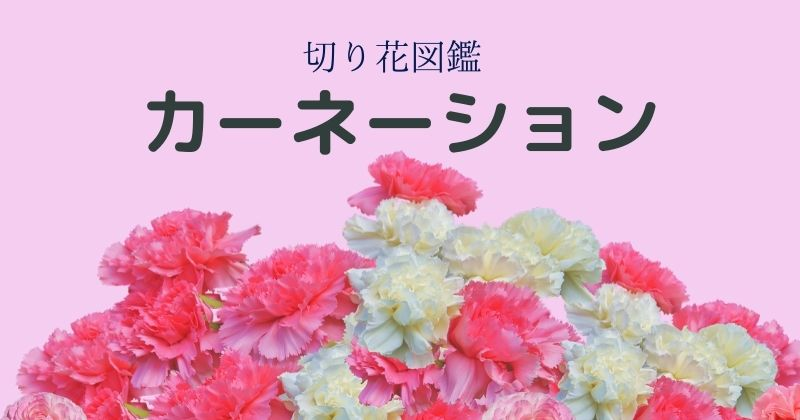 カーネーションの切り花:日持ちも良く結婚式からお葬式までどのシーンでも活躍します