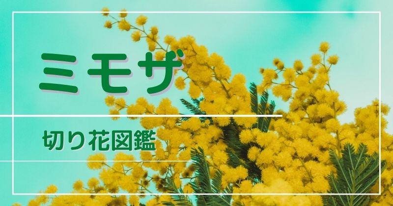 ミモザの切り花:蕾が咲かない?日持ちが悪い?すぐに枯れないための水揚げと管理方法