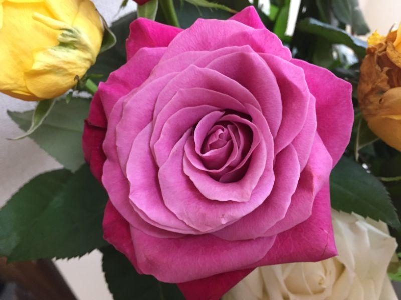 一週間後の産直のバラ:ピンク