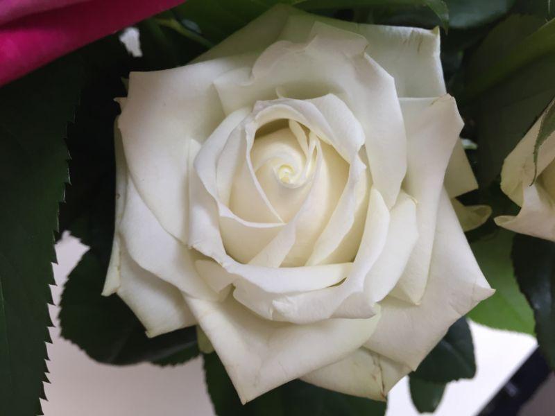 一週間後の産直のバラ:白