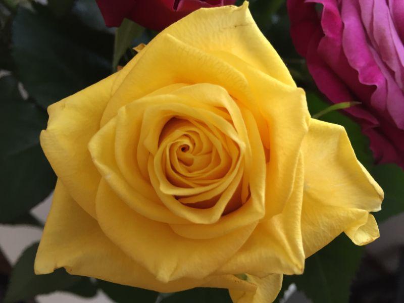 一週間後の産直のバラ:黄色