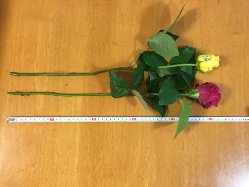 バラの長さは50センチ