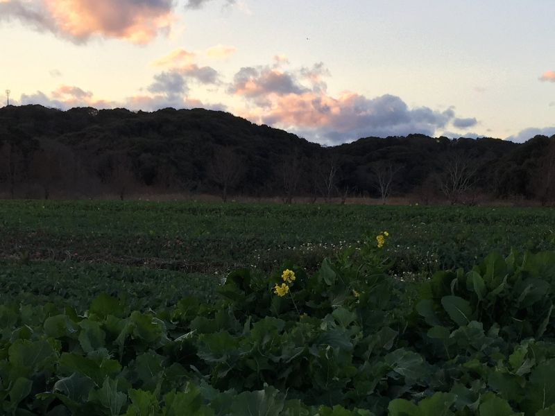 菜の花畑?