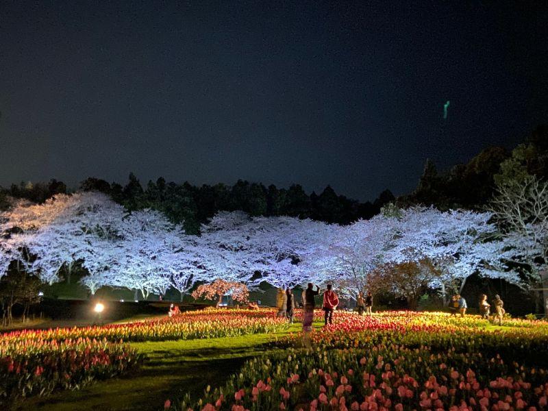 はままつフラワーパークの桜とチューリップ:ライトアップ