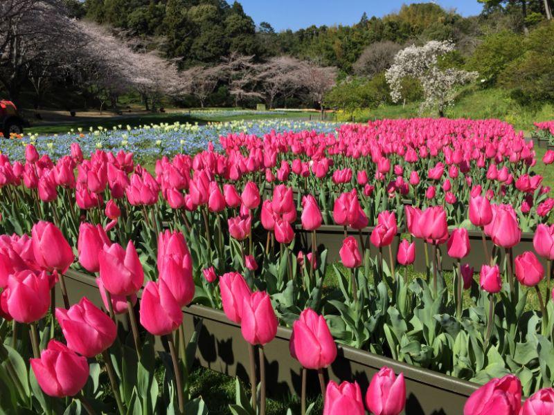 はままつフラワーパークのチューリップと桜の共演