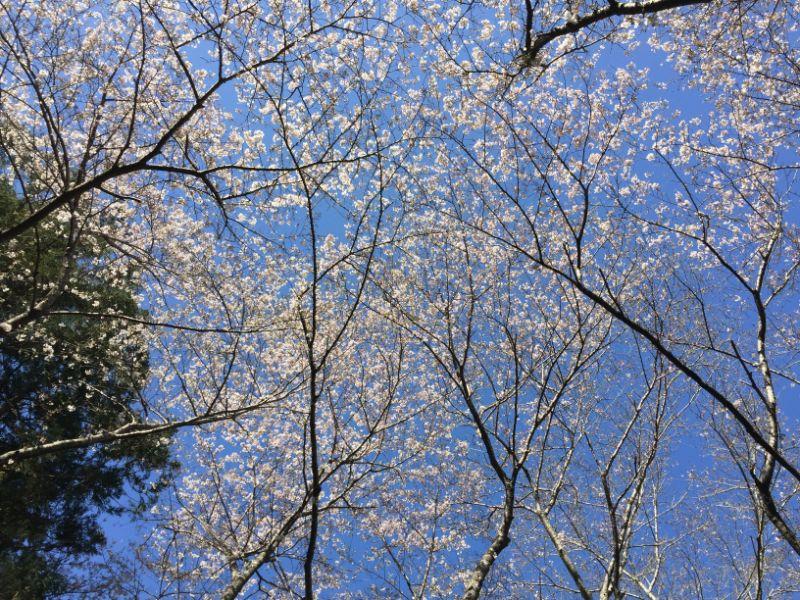 はままつフラワーパークの桜(ソメイヨシノ)