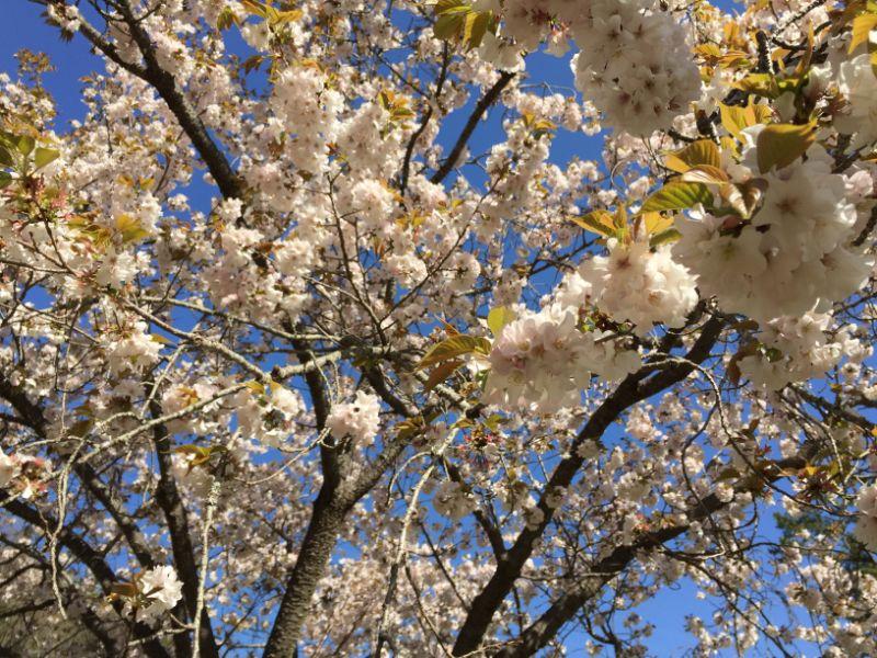 はままつフラワーパークの桜:浜名湖手毬