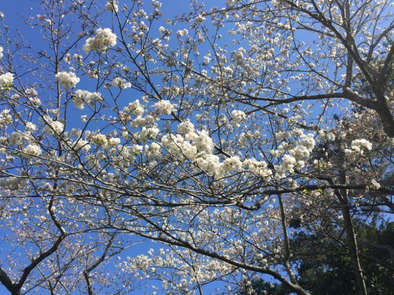 はままつフラワーパークの桜:船原吉野