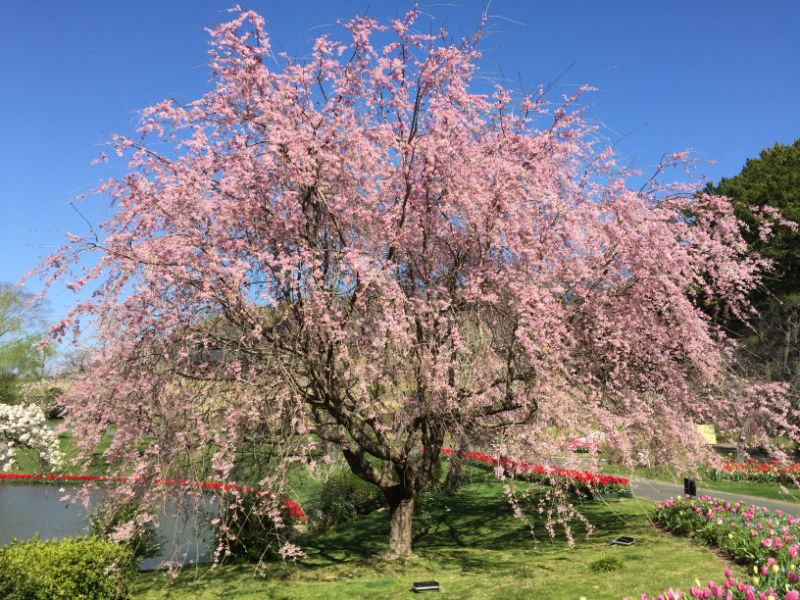 はままつフラワーパークの桜:紅枝垂(べにしだれ)
