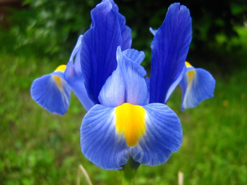 アイリス切り花の管理方法