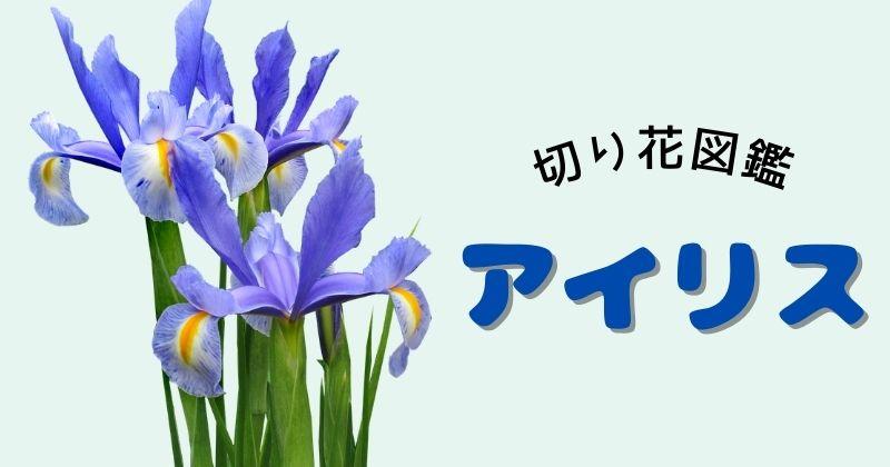 アイリスの切り花:青い花びらの付け根に黄色い斑が入るのが特徴。花言葉の由来や飾り方のポイント