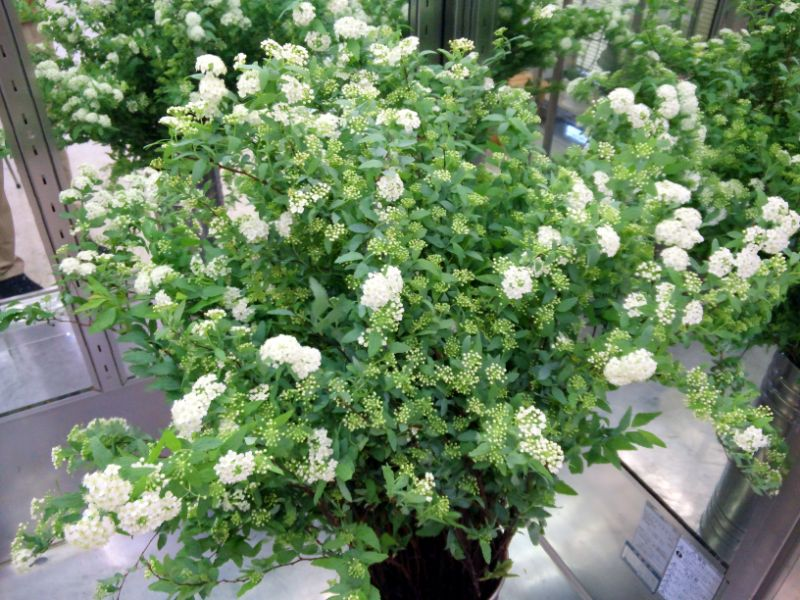 コデマリの切り花:飾り方