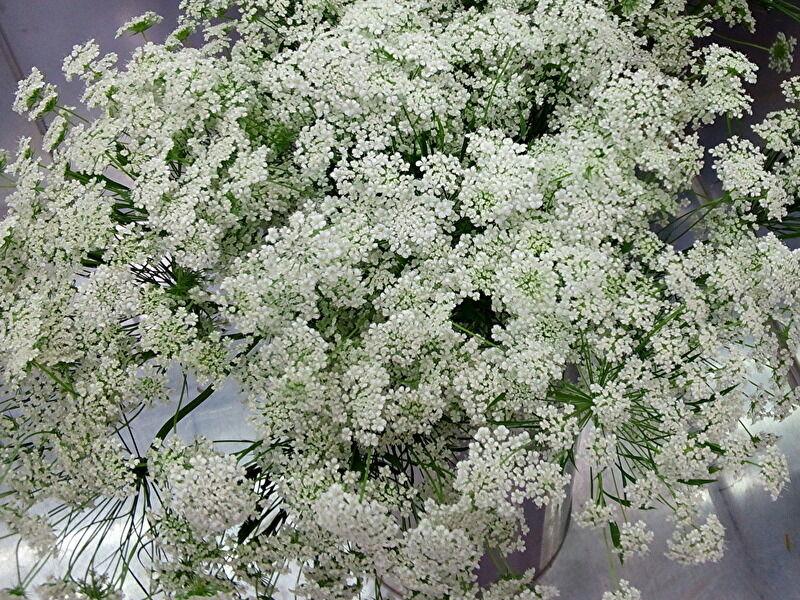レースフラワーとよく似た花