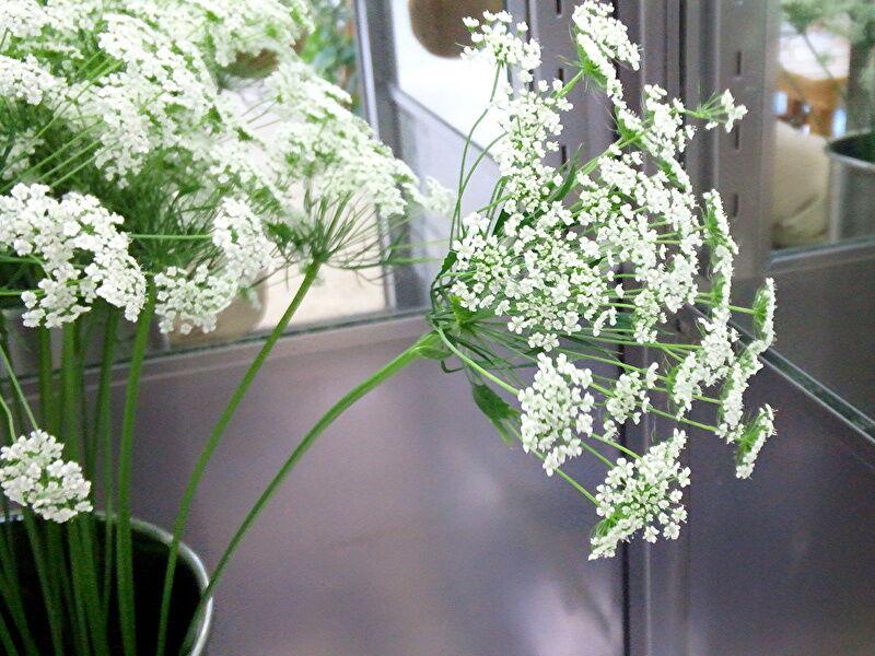 レースフラワーの切り花の特徴、飾り方