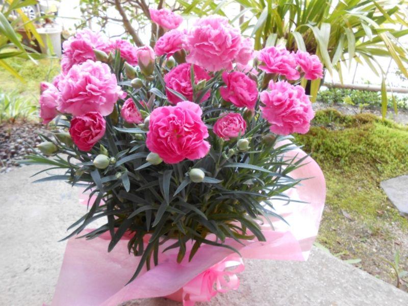 母の日の鉢植えのカーネーション