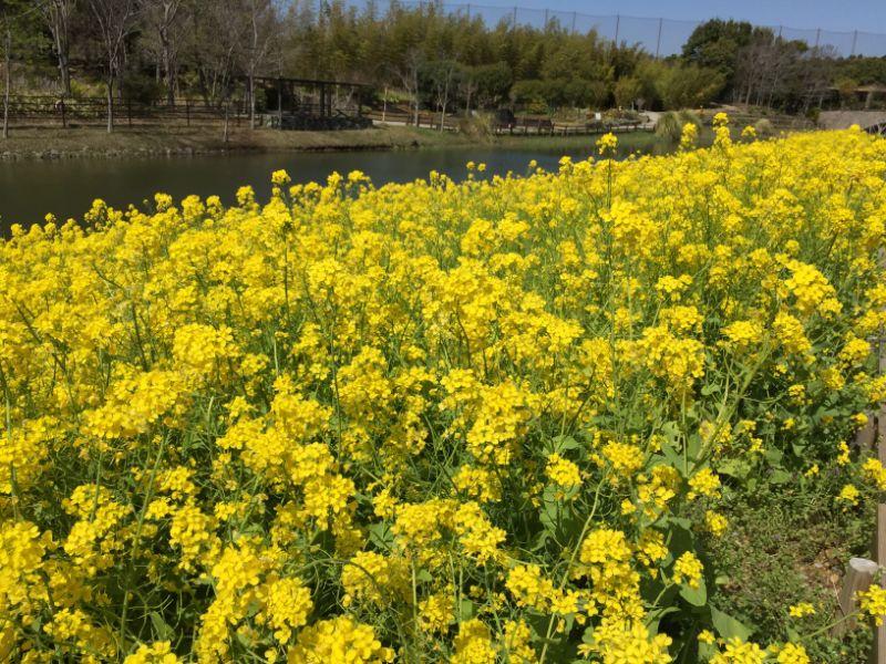 浜名湖ガーデンパークのナノハナ