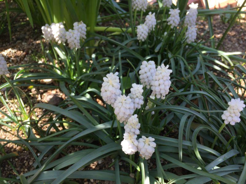 浜名湖ガーデンパークの白いムスカリ