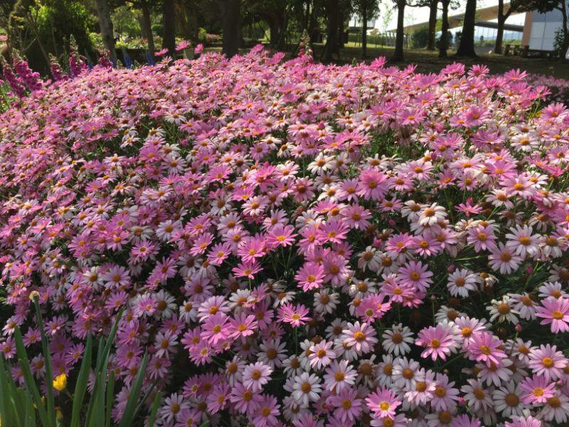 浜名湖ガーデンパークのマーガレット
