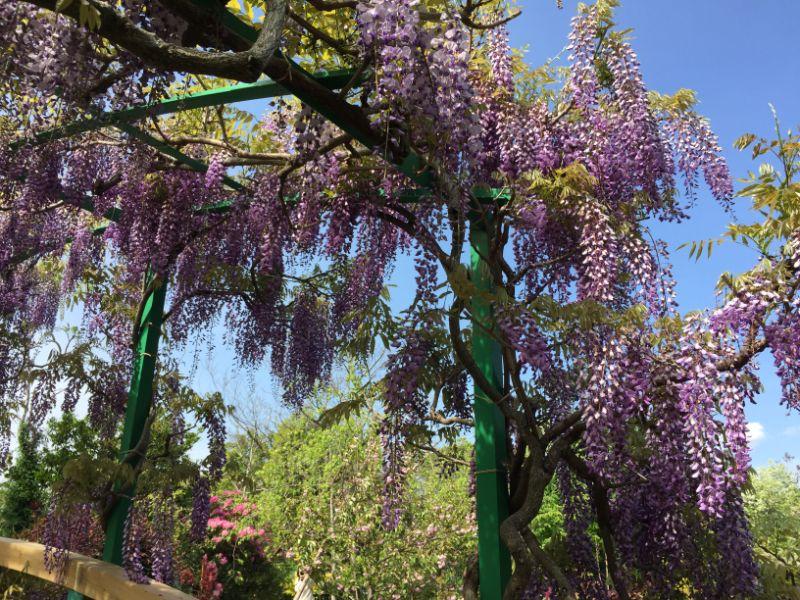 浜名湖ガーデンパークのモネの庭にある藤棚