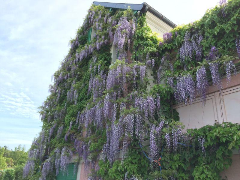 花の美術館の藤の花