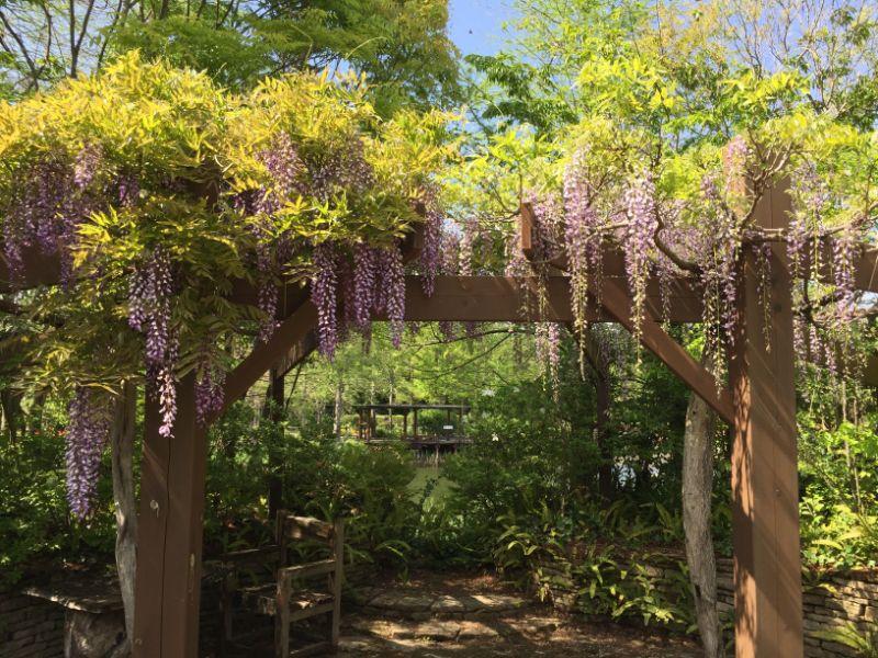 浜名湖ガーデンパークの藤の花