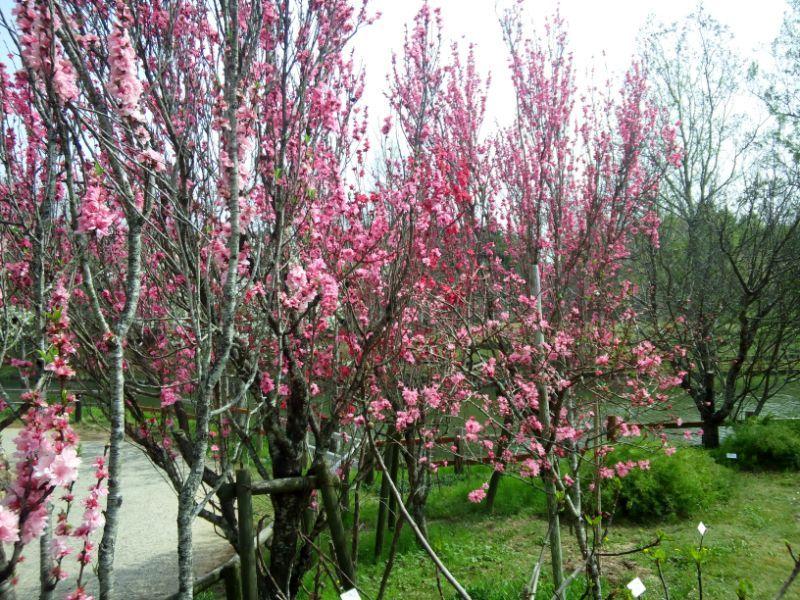 浜名湖ガーデンパークのモモの花