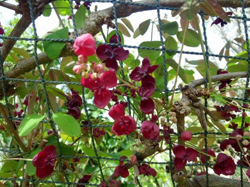 浜名湖ガーデンパークのアケビの花