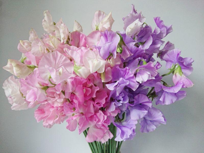 スイートピーの切り花の特徴、飾り方
