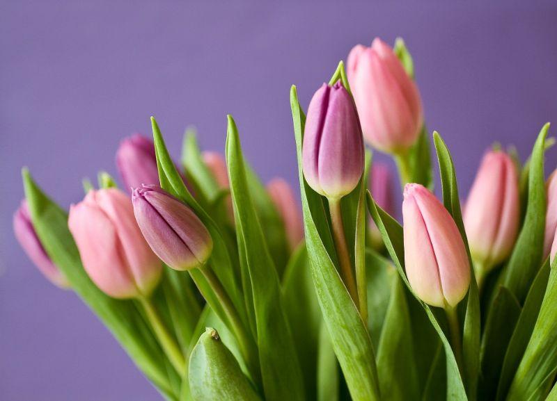 チューリップの切り花が出回る時期