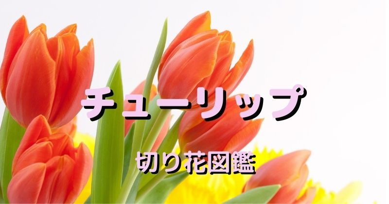 チューリップの切り花:時期、日持ち